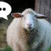 mouton-sans-mot