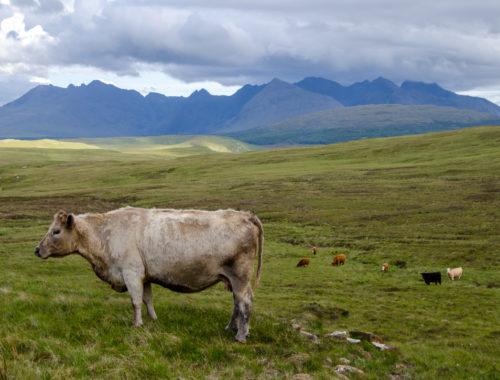 vache-skye