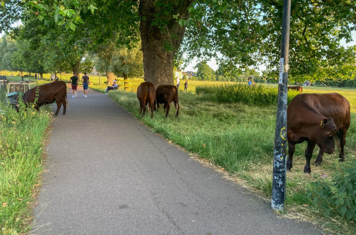 Vaches dans un parc